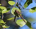 Dragonfly Haukipudas 20120703 01.JPG