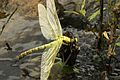 Dragonfly at Cahaba River (5687005757).jpg