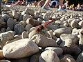 Dragonfly at Neum beach.jpg