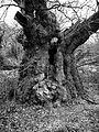Druid's Oak (6958355902).jpg