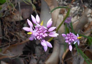 <i>Sowerbaea</i> genus of plants