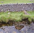 Dry stone wall Malham 07.JPG