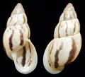Drymaeus strigatus shell.png