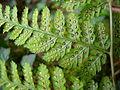 Dryopteris dilatata leaf.jpg