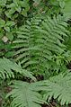 Dryopteris filix-mas (8338376879).jpg