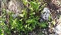Dryopteris filix-mas (Dryopteridaceae) 01.jpg