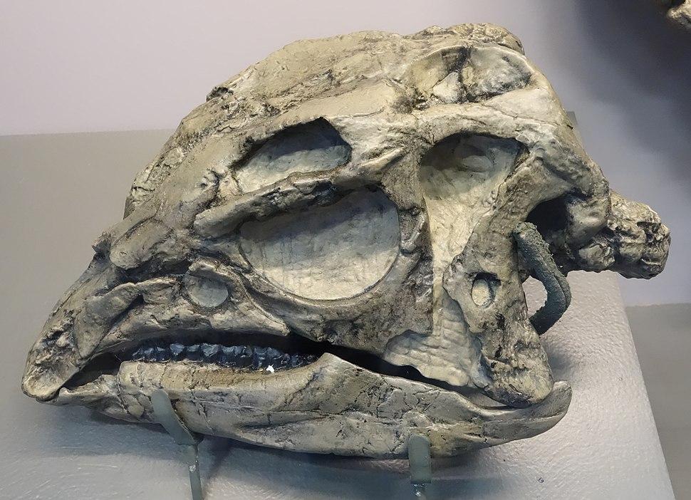 Dryosaurus skull dinosaur national monument