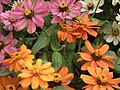 Dwarf Zinnia from Lalbagh flower show Aug 2013 8243.JPG
