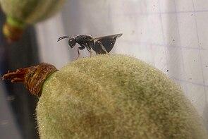 Eurytoma amygdali auf einer Mandel
