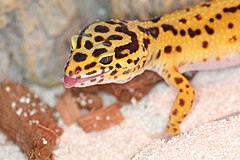 240px eublepharis macularius leopard gecko leopardgecko 201705276003