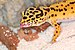 Gecko Leopardo Asiático - Photo (c) Christian von Faber-Castell, algunos derechos reservados (CC BY)