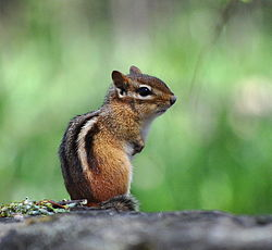meaning of chipmunk