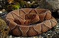 Eastern Copperhead (Agkistrodon contortrix) (29324851667).jpg