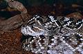 Eastern Diamondback Rattlesnake (Crotalus adamanteus)(captive specimen) (14883915304).jpg
