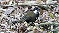 Eastern Whipbird (Psophodes olivaceus) (31032209980).jpg