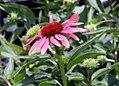 Echinacea Twilight 11zz.jpg
