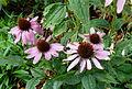Echinacea purperea.JPG