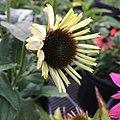 Echinacea purpurea IMG 0037.jpg