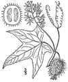 Echinocystis lobata illustr.png