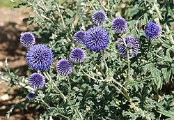 Echinops July 2011-1.jpg
