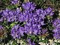 Edraianthus graminifolius 01.JPG