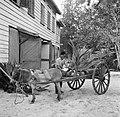 Een ezel voor een wagen met jonge kokospalmen in de palmentuin in Coronie, Bestanddeelnr 252-5661.jpg