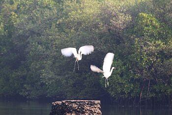 Egrets in Salim.jpg