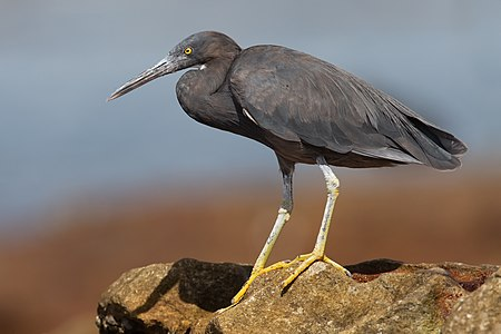 Pacific reef heron (Egretta sacra), Boat Harbour, New South Wales, Australia