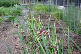 Egyptian Tree Onion, Walking Onion, Topset Onion (Allium cepa var. proliferum).jpg