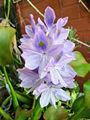Eichhornia crassipes-infl.jpg