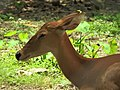Eld's Deer-Female.jpg