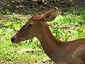 Eld's Deer-Female.jpg
