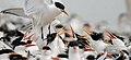 Elegant terns (6931421189).jpg