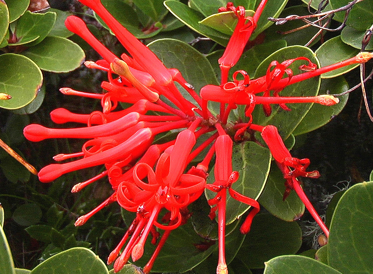 Embothrium coccineum - Wikipedia, la enciclopedia libre