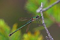 Emerald damselfly (Lestes sponsa) female.jpg