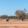 Emu Burke River floodplain Boulia Shire Queensland P1060871.jpg