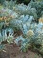 Encephalartos horridus KirstenboshBotGard09292010E.JPG