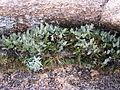 Enchanted Rock, plants, 2005.jpg