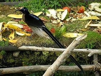 Bird-of-paradise - Sicklebills such as this brown sicklebill have decurved bills