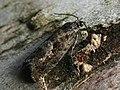 Epinotia pygmaeana - Pygmy needle tortricid - Листовёртка-иглоед пигмей (41303639974).jpg