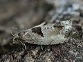 Epinotia ramella - Листовёртка разнообразная берёзовая (40555200304).jpg