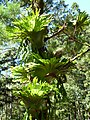 Epiphytic ferns on Tree.jpg