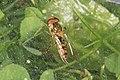 Episyrphus balteatus (20407548891).jpg