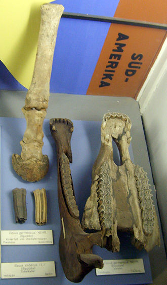 Domestication of the horse - Equus caballus germanicus front leg, teeth and upper jaw at the Museum für Naturkunde, Berlin