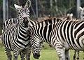 Equus quagga boehmi 15zz.jpg