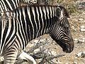 Equus quagga burchellii (melanistic).jpg