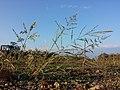 Eragrostis virescens sl3.jpg