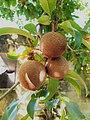 Ericales - Manilkara zapota - 5.jpg
