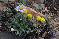 Erigeron caespitosus & Eriogonum brevicaule.jpg