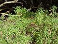Erysimum albescens (Gran Canaria).jpg